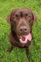 Picture of Chocolate Labrador Retriever looking into camera