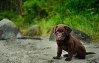 Picture of Chocolate Labrador Retriever puppy