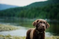 Picture of Chocolate Labrador Retriever puppy posing looking ahead.