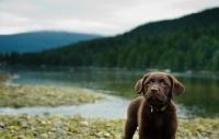 Picture of Chocolate Labrador Retriever puppy posing.