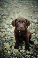 Picture of Chocolate Labrador Retriever puppy posing
