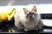 Picture of chocolate tortie tiffanie cat in kitchen