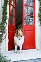 Picture of Collie in doorway