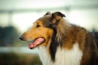 Picture of Collie profile