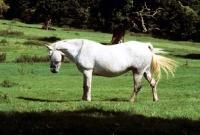 Picture of connemara mare swishing her tail
