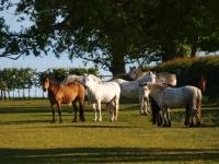 Picture of connemara ponies