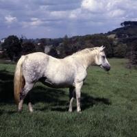 Picture of Connemara pony  looking ahead