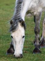 Picture of Connemara pony, grazing