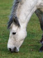 Picture of Connemara pony grazing