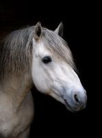 Picture of Connemara pony on black background, portrait