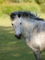 Picture of Connemara pony