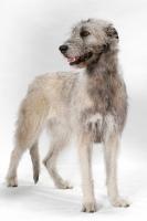 Picture of cream Irish Wolfound
