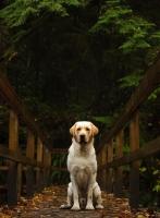 Picture of cream Labrador Retriever sitting on bridge