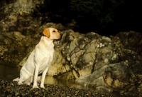 Picture of cream Labrador Retriever sitting near rocks