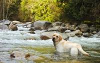 Picture of cream Labrador Retriever standing in river