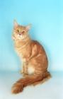 Picture of cream maine coon cat