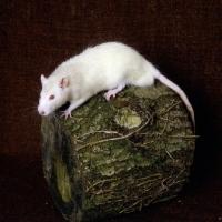 Picture of cream rat on log
