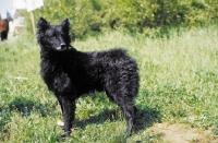 Picture of Croatian Sheepdog