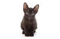 Picture of cute black Peterbald kitten
