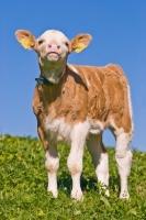 Picture of cute calf in summer