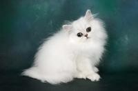 Picture of cute chinchilla kitten