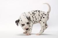 Picture of cute Dalmatian puppy