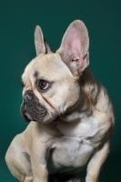 Picture of cute French Bulldog in green studio