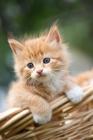 Picture of cute kitten in a basket