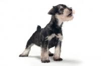Picture of cute Miniature Schnauzer puppy