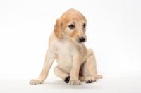Picture of cute Saluki puppy