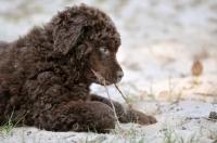 Picture of cute Wetterhound puppy