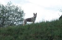 Picture of czech wolfdog on hillside