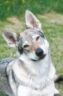 Picture of czech wolfdog portrait