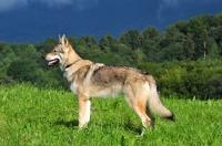 Picture of Czechoslovakian wolfdog (aka Ceskoslovensky Vlcak) posed