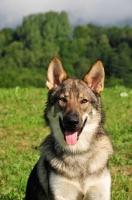 Picture of Czechoslovakian wolfdog (aka Ceskoslovensky Vlcak) looking at camera