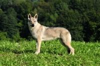 Picture of Czechoslovakian wolfdog (aka Ceskoslovensky Vlcak) standing in field