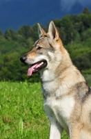 Picture of Czechoslovakian wolfdog (aka Ceskoslovensky Vlcak)