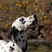 Picture of dalmatian head portrait