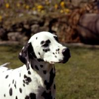 Picture of dalmatian, portrait, in garden