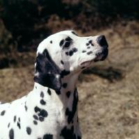 Picture of dalmatian, portrait