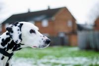 Picture of Dalmatian profile