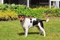 Picture of danish swedish farmdog in garden