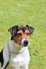 Picture of danish swedish farmdog on leash