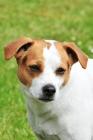 Picture of danish swedish farmdog portrait