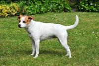 Picture of danish swedish farmdog side view