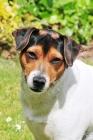 Picture of Danish Swedish Farmdog