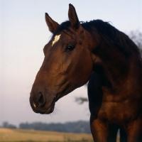 Picture of Danish Warmblood head