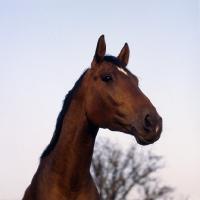 Picture of Danish Warmblood head low angle shot