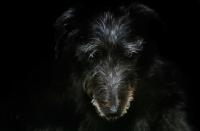 Picture of dark lurcher