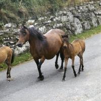 Picture of Dartmoor mare walking with foals dartmoor road returning from the moor